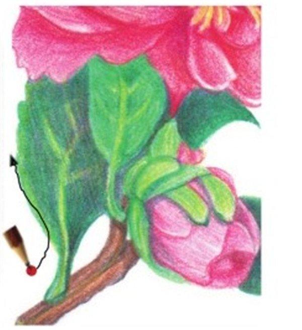 彩铅山茶花的绘画技法(12)