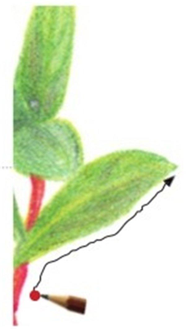 彩铅石榴花的绘画技法(8)