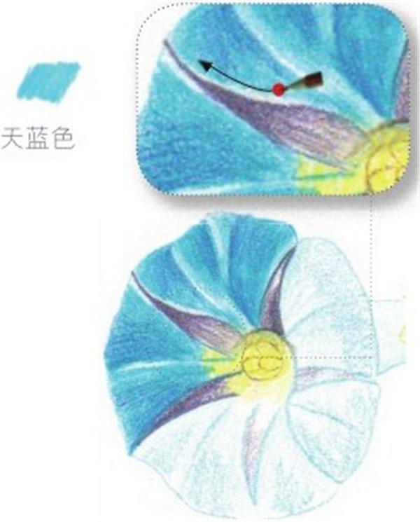 彩铅牵牛花的绘画步骤(3)
