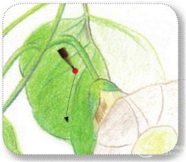 (13)用黄绿色的铅笔勾画最后一片叶子的结构,注意叶片上的小细节不要漏画。  绘制牵牛花的叶和茎十三 (14)用黄绿色的铅笔在叶子的底部涂抹上一层淡淡的颜色,用草绿色的铅笔在明暗之间进行过渡。  绘制牵牛花的叶和茎十四 (15)用草绿色的铅笔刻画叶子的茎时要用直线条,这样可以增添力度感。  绘制牵牛花的叶和茎十五