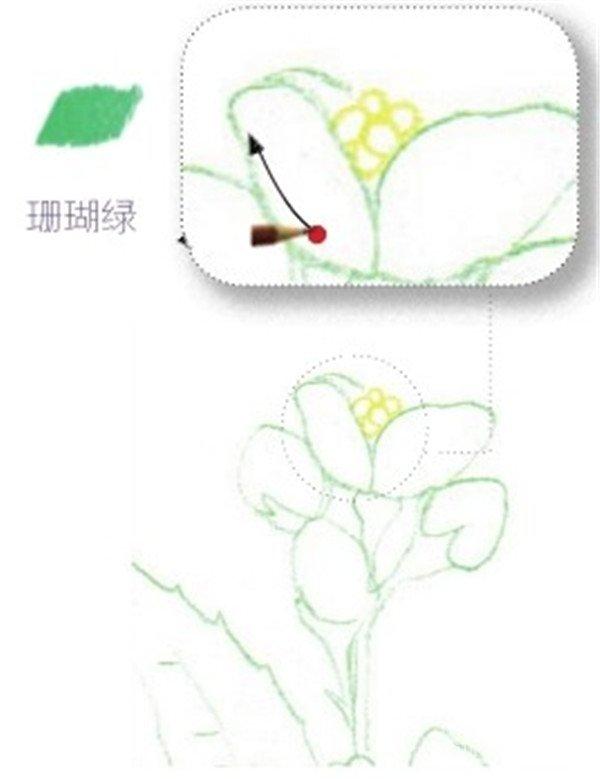 彩铅茉莉花的绘画步骤(3)