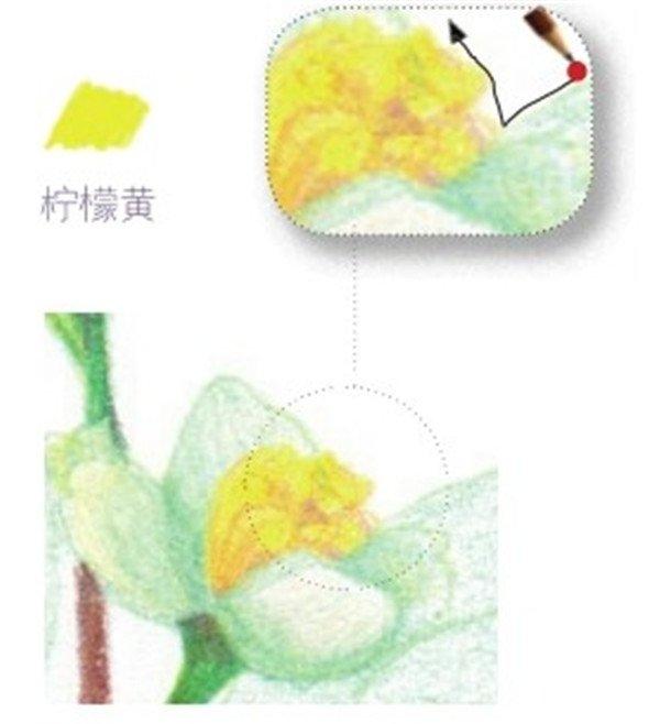 彩铅茉莉花的绘画步骤(4)