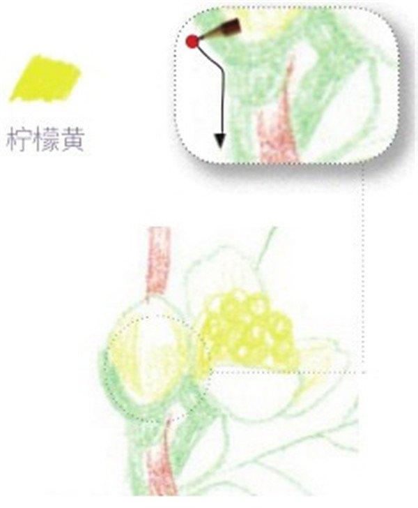 > 彩铅茉莉花的绘画步骤(5)      (8)同上一朵花的绘制步骤,用柠檬