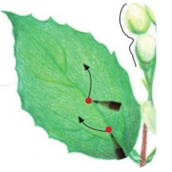 彩铅茉莉花的绘画步骤(6)