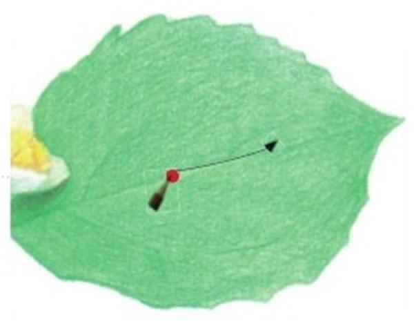 (10)认真观察画面,用珊瑚绿色的铅笔勾画叶子的大体轮廓。  绘制茉莉花的叶和茎十 (11)用珊瑚绿色的铅笔在叶子上涂抹一层底色作为铺垫。  绘制茉莉花的叶和茎十一 (12)为了加强叶片的体积感,最后在叶片上再涂抹一层珊瑚绿色。  绘制茉莉花的叶和茎十二