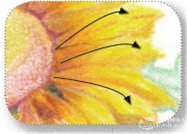 彩铅向日葵的绘画技法(5)