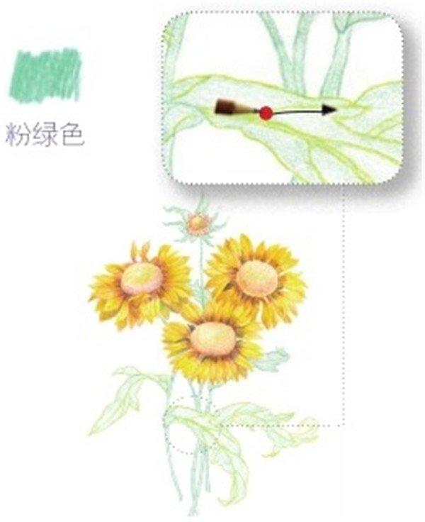 彩铅向日葵叶子轮廓