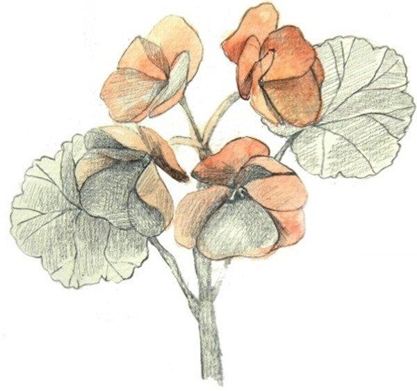 海棠花的绘画步骤三