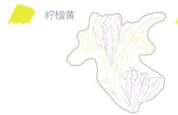 (2)在花朵下面用柠檬黄色的 铅笔画出法式鸢尾的叶片轮廓,注意