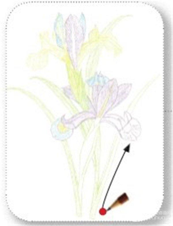 彩铅法式鸢尾的绘画教程(7)