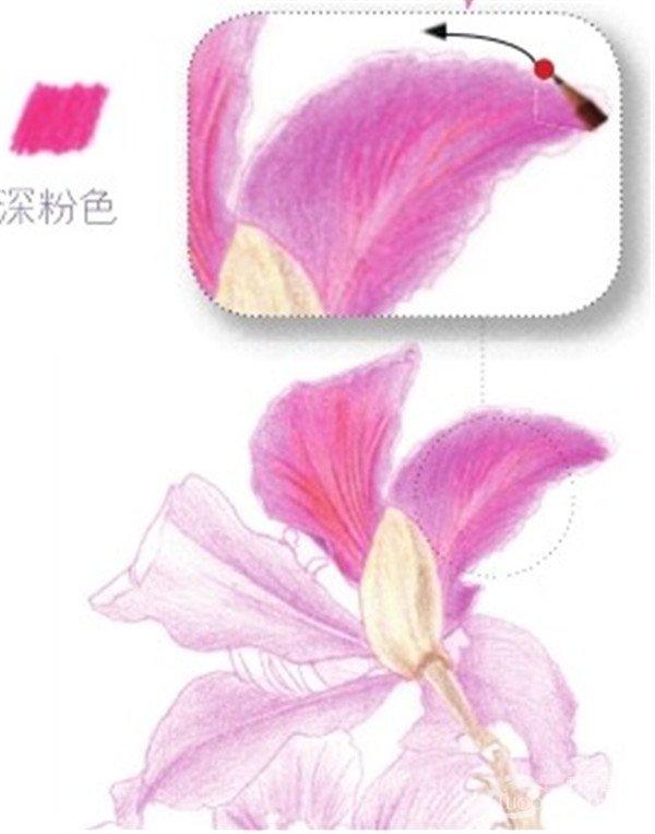 2、绘制紫荆花的花瓣部分 (1) 用浅粉色的铅笔涂抹出紫荆花花瓣的底色。  绘制紫荆花的花瓣部分一 (2) 将其中一片花瓣用浅粉色的铅笔继续叠上一层颜色,用深粉色的铅笔勾画出花瓣上面的纹路。  绘制紫荆花的花瓣部分二 (3) 根据步骤02,继续勾画花瓣,注意花瓣根部重色可以换深粉色的铅笔进行涂抹。  绘制紫荆花的花瓣部分三