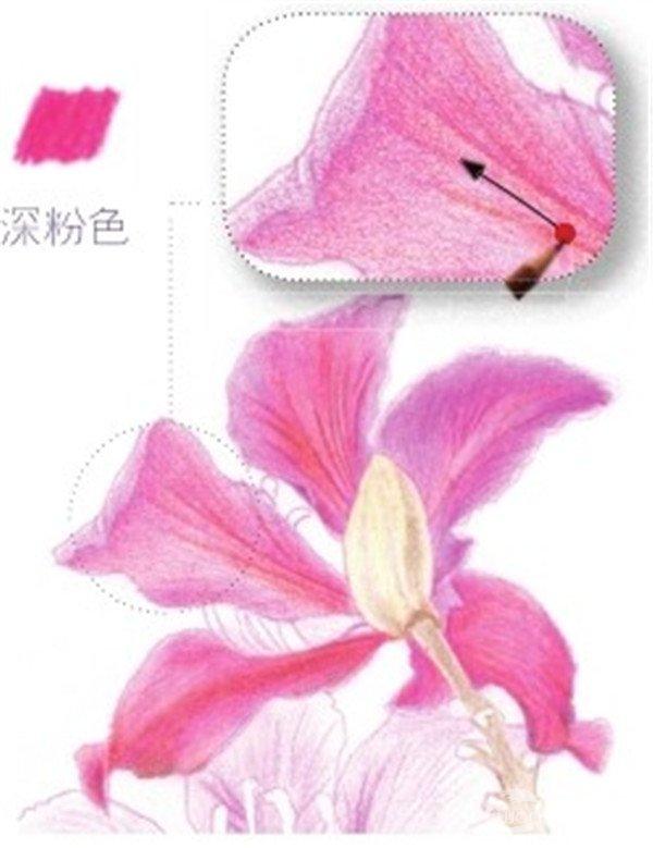(4) 后面的花瓣让根茎挡住了一部分,勾画时要注意前后关系,尽量用深粉色的铅笔虚化处理。  绘制紫荆花的花瓣部分四 (5)第四片花瓣是朝左下方生长的,在用深粉色的铅笔涂抹时要顺着花瓣的走向上色。  绘制紫荆花的花瓣部分五 (6)最后一片花瓣只露出了花瓣背部,在用深粉色的铅笔刻画时要重点突出花的脉络,空出留白。  绘制紫荆花的花瓣部分六