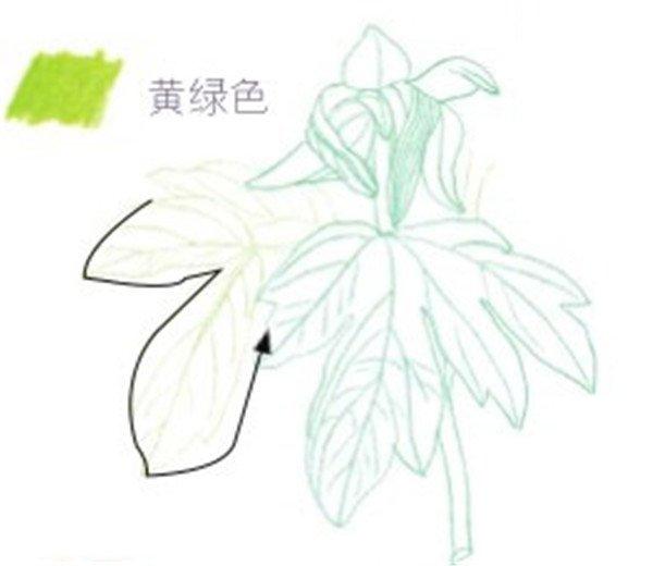 彩铅芍药花的绘画步骤(2)