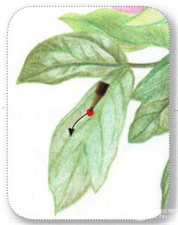 3、绘制芍药花的叶、茎 (1)用黄绿色的铅笔勾画芍药花的叶子轮廓。  绘制芍药花的叶、茎一 (2)用蓝绿色的铅笔涂抹叶子的底层颜色。  绘制芍药花的叶、茎二 (3)用橄榄绿色的铅笔在叶子上叠加一层底色,注意留白要空出来。  绘制芍药花的叶、茎三 (4)用橄榄绿色的铅笔画叶子暗部颜色,使叶子更加具有立体感。  绘制芍药花的叶、茎四