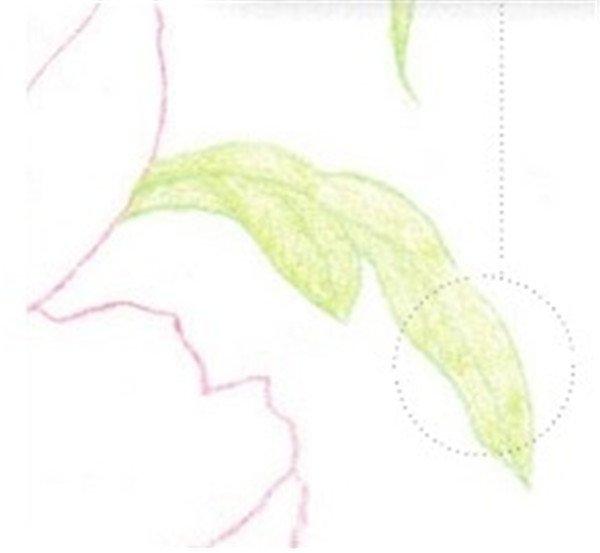 彩铅芍药花的绘画步骤(9)