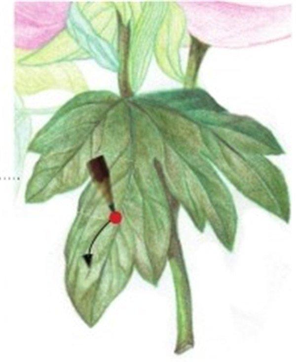 彩铅芍药花的绘画步骤(8)