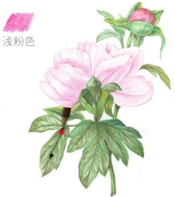 芍药花的花瓣颜色层次比较少,粉色的深浅对比可以区分花朵的层次.