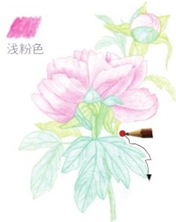 彩铅芍药花的绘画步骤(10)