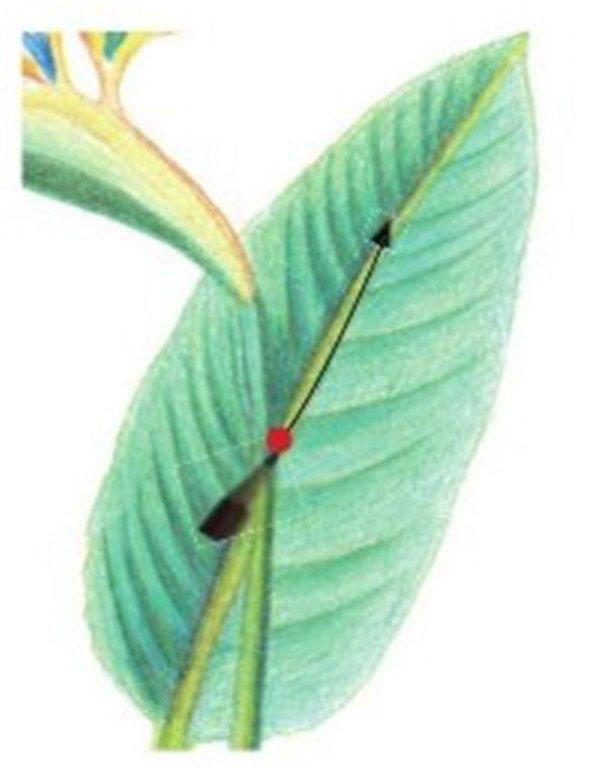 (5)用蓝绿色的铅笔勾画望鹤兰唯一一片叶子的结构。  绘制望鹤兰的叶和茎五 (6)根据叶脉走向用蓝绿色的铅笔为左半片叶子涂抹底层。  绘制望鹤兰的叶和茎六 (7)同步骤06,用蓝绿色的铅笔为右半片叶子涂抹底层,注意右边要比左边颜色略深。  绘制望鹤兰的叶和茎七 (8)最后用草绿色的铅笔细化叶子的叶脉结构,一定要根根分明画出立体感。  绘制望鹤兰的叶和茎八