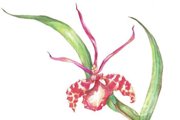 兰花彩铅画图片大全-兰花的画法铅笔画,兰花图片简笔