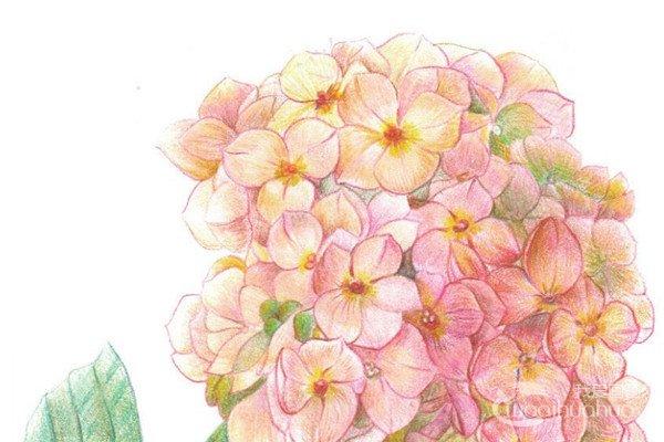 彩铅八仙花的绘画技法