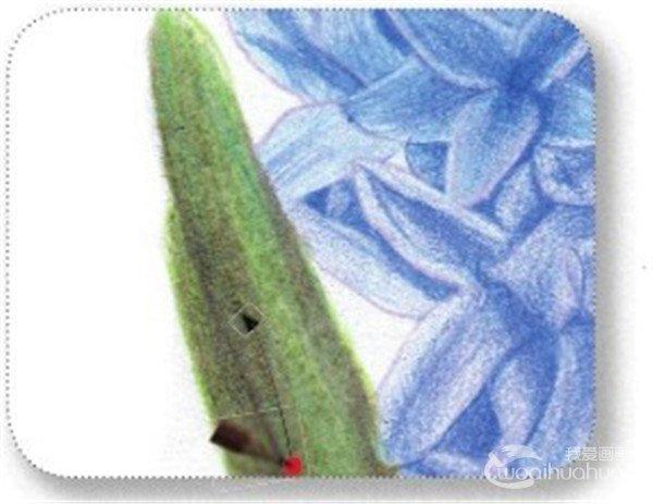 彩铅风信子的绘画教程(7)