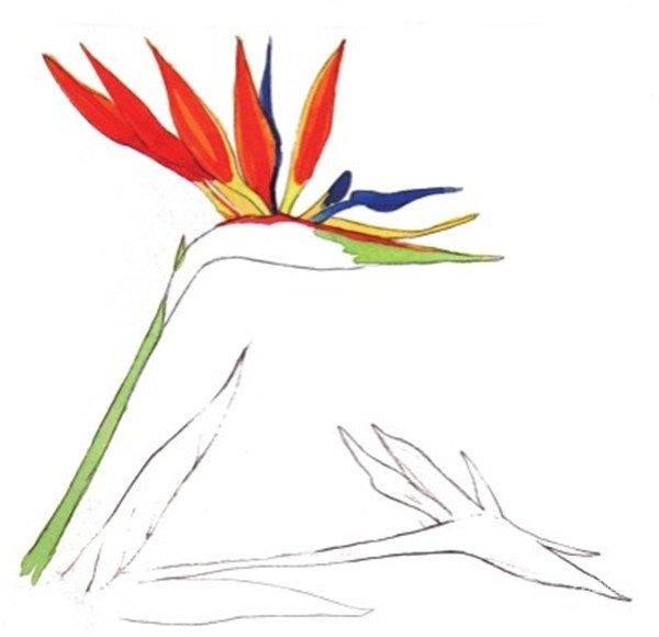 水彩长投影示例天堂鸟的绘画步骤五
