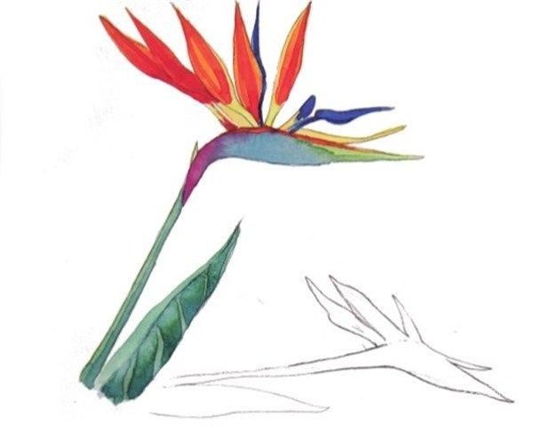 水彩长投影示例天堂鸟的绘画步骤七