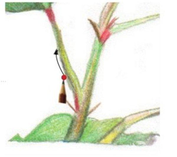 彩铅扶桑花的绘画教程(9)