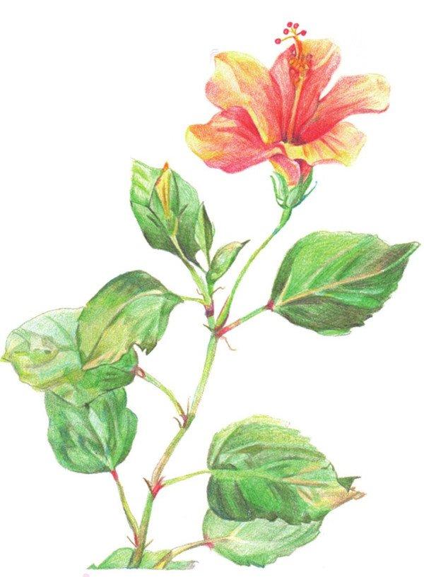 彩铅叶子植物图片