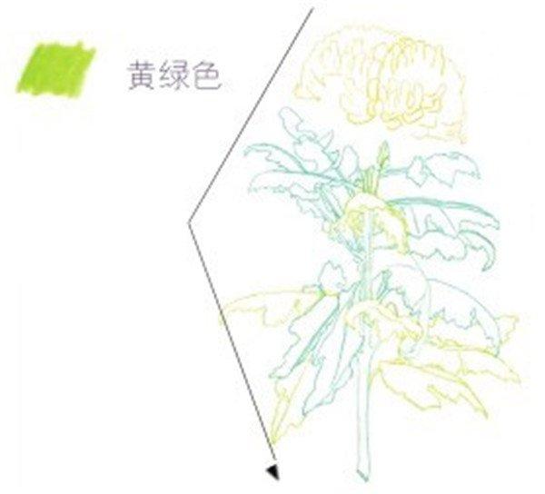 彩铅黄菊花叶子画法