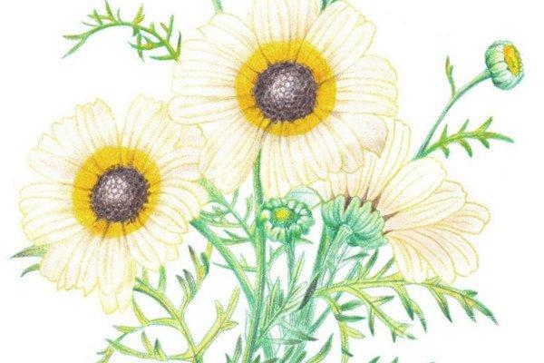 彩铅雏菊的绘画技法