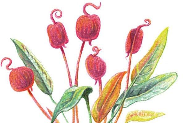 彩铅秋海棠的绘画教程