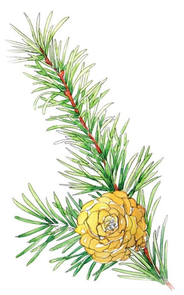 水彩松树果绘画步骤四