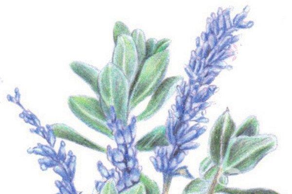 彩铅紫色迎春花的绘画技法