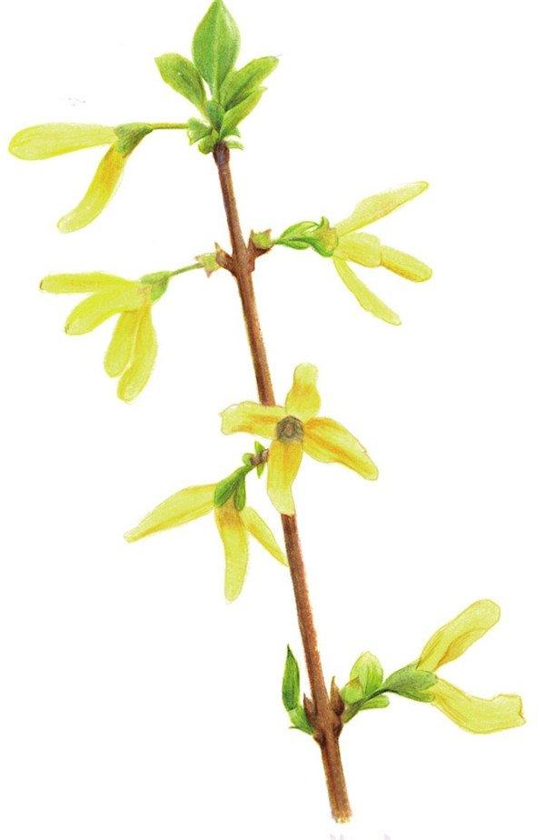 彩铅黄色迎春花的绘画技法