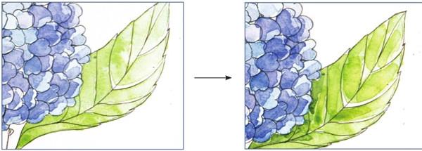 4、在花球的明暗交界处加深颜色,使它的立体感更加十足。  水彩紫阳花的绘画步骤四 5、接下来两步并作一步来讲叶子的画法,先用黄绿色整体地铺一遍,等待颜料干了之后再在之前的颜料里加入一点钴蓝色,要沿着叶子的筋络用笔。  水彩紫阳花的绘画步骤五