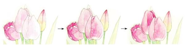 水彩郁金香的绘画步骤六