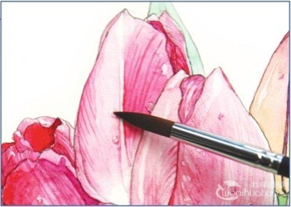 7、第二次上那朵最鲜艳的花朵时,继续调整颜料的饱和度,让这个花朵颜色更加鲜艳,花瓣的边缘向外卷起,边缘颜色要浅些。  水彩郁金香的绘画步骤七 刻画细节,花瓣上的筋络增加花朵的真实感。  水彩郁金香的绘画步骤七-1 刻画花瓣上的露珠,用干净的白色颜料点在露珠高光的位置。  水彩郁金香的绘画步骤七-2  水彩郁金香的绘画完成图 在郁金香的花瓣轮廓转折的位置可以用笔稍重些,后面的花朵用笔就可以轻一点。
