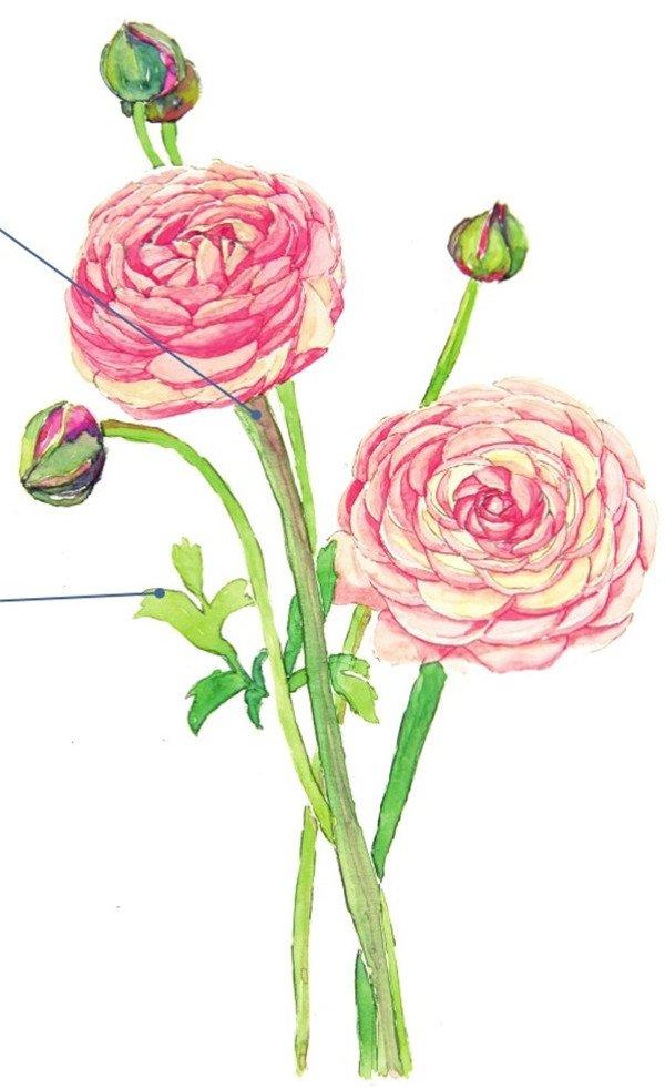 6、给左边的这朵花上色,步骤跟前面的一样,先上一层大色调,需要注意的是受光部分和背光部分的颜色区别,还有花瓣里层和外层的颜色分别。  水彩花毛莨的绘画步骤六 7、上第二层颜色,两朵花毛莨的颜色要有所不同,所以后面一朵花的深色部分比前面一朵深,加深花瓣的暗部,突出花瓣的形状。  水彩花毛莨的绘画步骤七 用浅绿色加一点胭脂红色调入适量的水,轻轻地叠在花朵在花梗上的阴影位置。  水彩花毛莨的绘画步骤七-1 深色的线稿会使花朵的轮廓看起来很死板,所以最后等颜料完全干了之后用较软的橡皮擦轻轻地擦去铅笔的线稿,没有擦