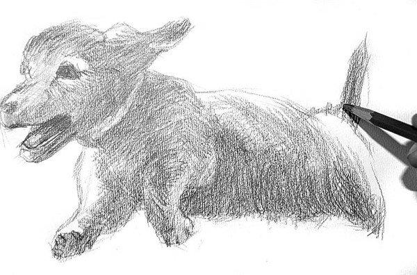 5、分析小狗五官的具体结构,特别是从鼻子到嘴巴神态的表现。  素描小狗的绘画步骤5 6、画到小狗胯下时候,要留出与草坪接触的部分,以便后面深入刻画。  素描小狗的绘画步骤6 7、小狗奔跑起来的后大腿部肌肉需要强调出来,可表现出小狗奔向主人那股激动的神情。  素描小狗的绘画步骤7 8、再表现前大腿的肌肉。  素描小狗的绘画步骤8 9、竖直翘起的尾巴,是这幅画的精彩之处。小狗的那种憨劲,可爱之极。  素描小狗的绘画步骤9