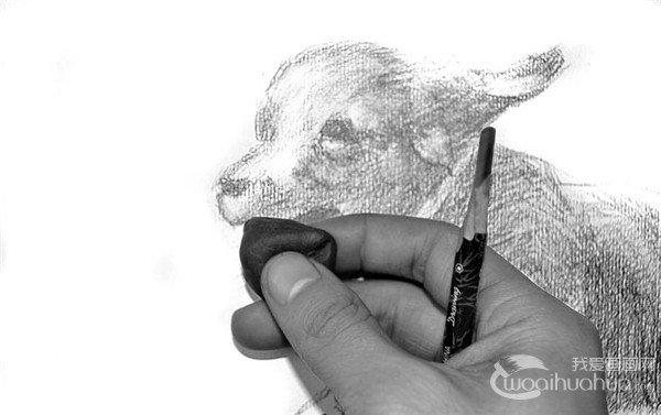 学画画 素描教程 素描动物 > 素描:小狗的绘画步骤(3)      10,用橡皮