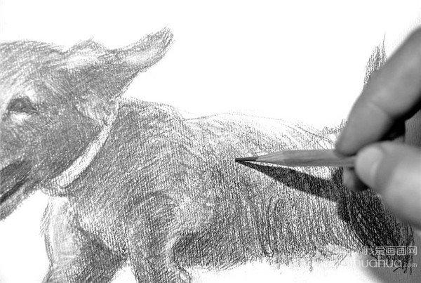 学画画 素描教程 素描动物 > 素描:小狗的绘画步骤(3)      12,对尾巴