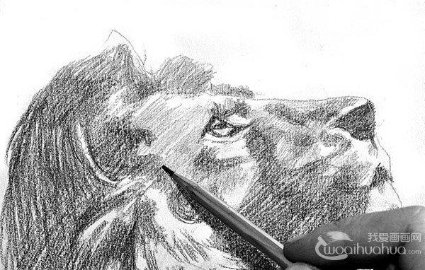 学画画 素描教程 素描动物 > 素描:狮子的绘画步骤(3)      10,深入刻