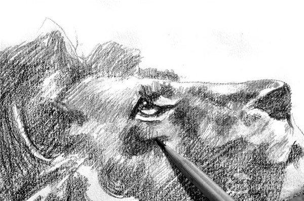 素描:狮子的绘画步骤(3)