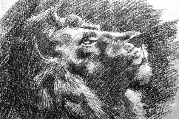 素描:狮子的绘画步骤