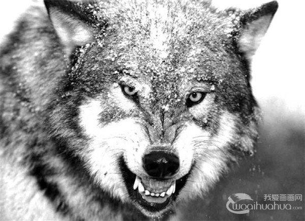 素描 狼的绘画步骤图片