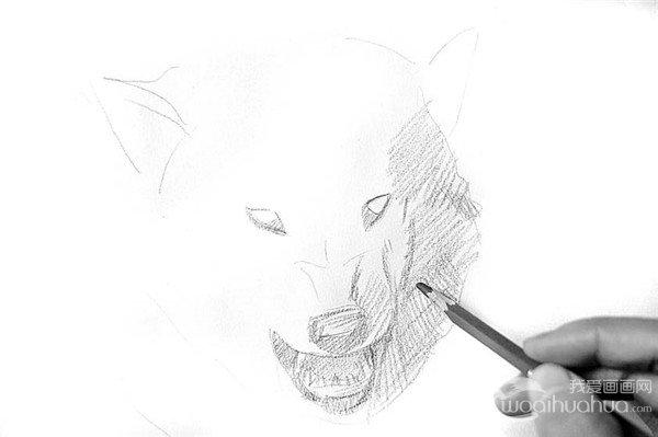步骤1 2、从狼的嘴开始画起。仔细刻画狼牙,尤其是上下四颗锋利的牙齿,更能体现狼性的一面。  素描狼的绘画步骤2 3、从背光面开始画狼的头部。先按照狼头部的基本结构铺大的明暗调子,区分深浅皮毛的明暗度。  素描狼的绘画步骤3