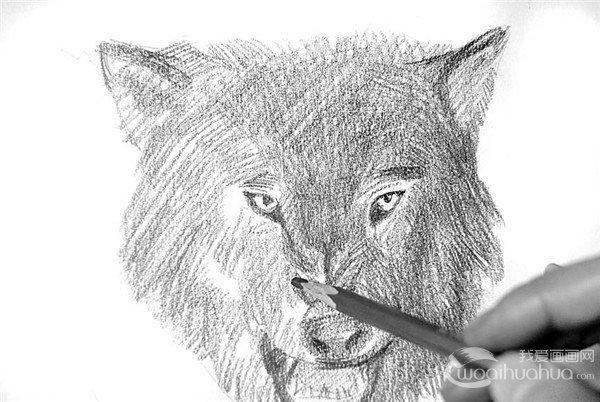 4、继续加深暗部皮毛,画出狼毛粗犷的感觉。  素描狼的绘画步骤4 5、向亮面过渡,线条的走向代表狼毛的造型。狼眼睛是点睛之笔,狰狞的表情便来自于流露的眼神。  素描狼的绘画步骤5 6、继续描画亮部狼毛的质感,寻找狼性的味道。  素描狼的绘画步骤6 7、细致地刻画狼右边的面颊,注意面颊碎毛与后面的长毛的衔接处,线条要有相互穿插,才能自然融合。  素描狼的绘画步骤7 8、刻画左边的面颊,碎毛的刻画如同右边,只是线条要比右边的淡一些。  素描狼的绘画步骤8