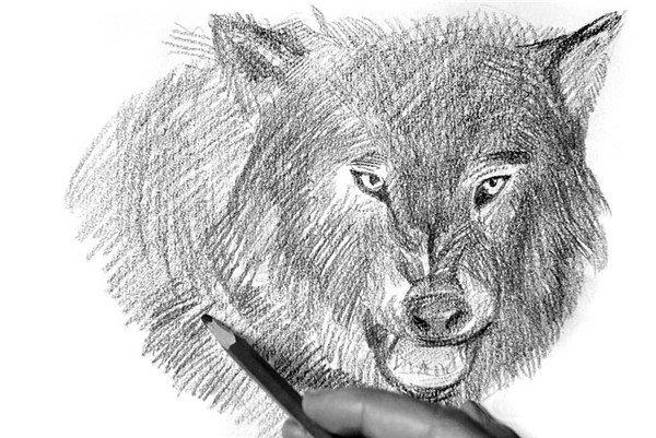 9、用大笔触表现狼颈脖的毛,与面部碎毛形成对比。  素描狼的绘画步骤9 10、在刻画狼毛时可以用橡皮擦出白色毛的感觉。  素描狼的绘画步骤10 11、擦完之后,再用笔画出几根凌乱的狼毛,突出狼野性的一面。  素描狼的绘画步骤11